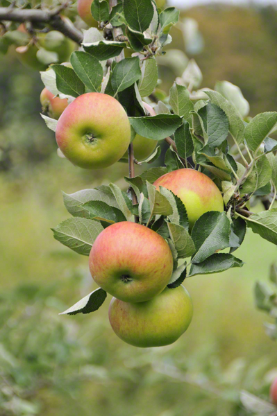 Bramley's Seedling, England's favorite heritage baking apple
